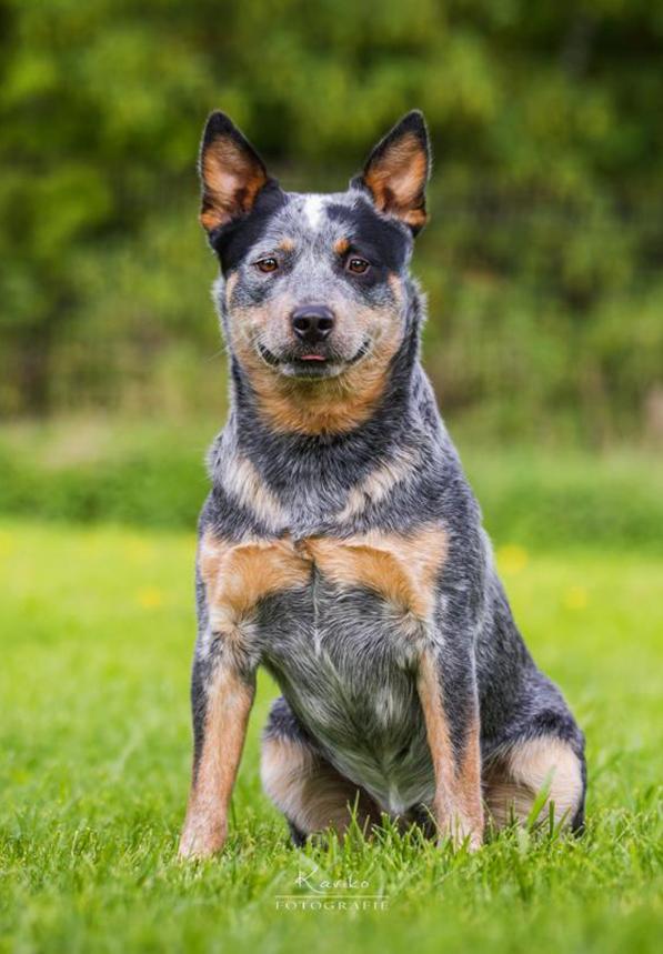 Bavarian Heelers Born For Wild Desert Dingo's